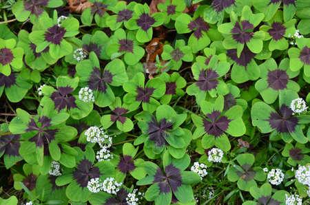 lucky clover: autumnal lucky clover