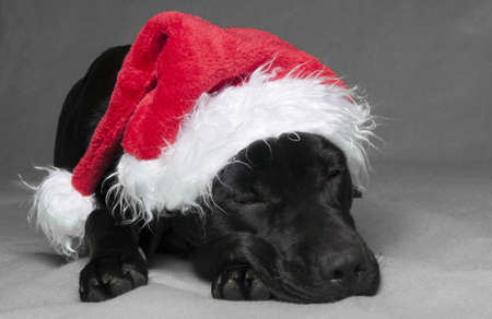 Black labador lying with eyes closed sleeping in a christmas hat photo