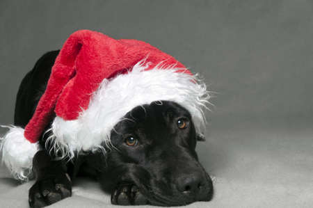black labardor in christmas hat