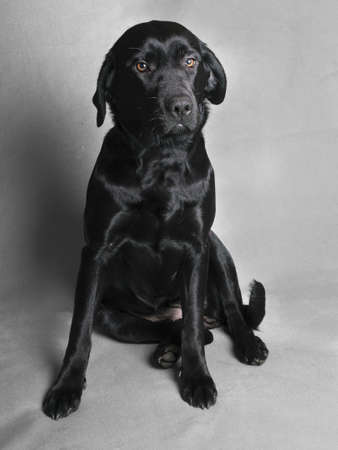 cute sitting black labador puppy photo