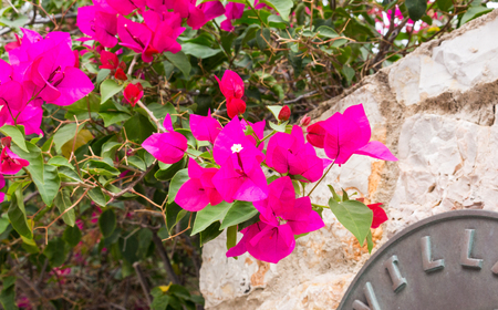 tree of violett bougainvillea at a meditaranen villa in Spain