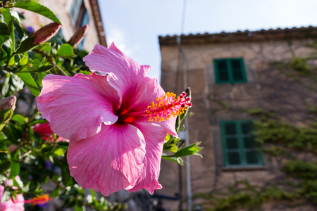 big pink hibiscus, rose of sharon flower blossom on a house in ancient town of valdemossa, majorca, spain Stock Photo