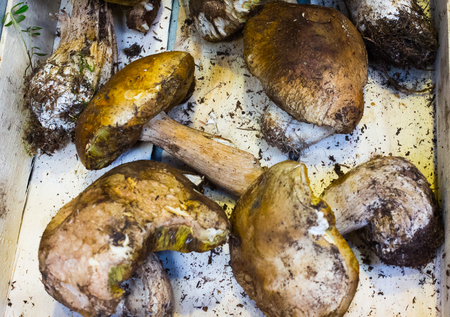 bunch of fresh yellow boletus cep mushrooms from harvest in the forest in wooden box