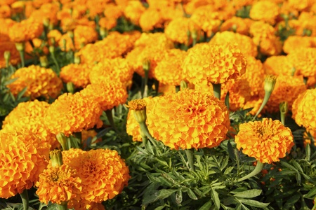 marigold folwer Stock Photo - 12980908