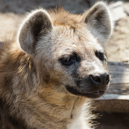 scavenger: Portrait of a hyena in the zoo Stock Photo