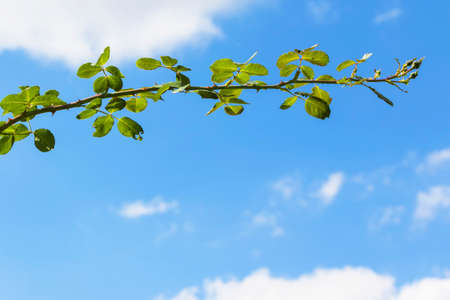 Rose branch on the background of a blue sky with a copy of space. Stock fotó