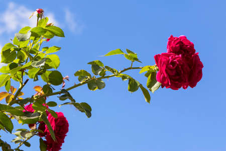 Rose branch on the background of a blue sky with a copy of space. Stock fotó - 155446290