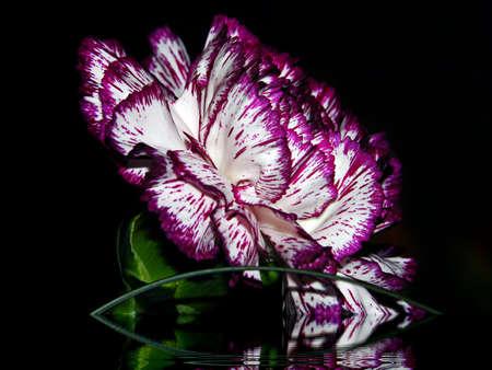 reflexion: Con un clavel oscuro de Reflexi�n
