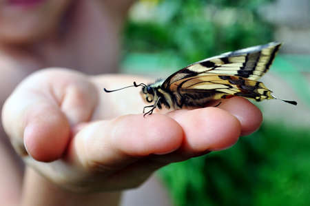 dovetail: Butterfly, swallowtail, at the hands of a child