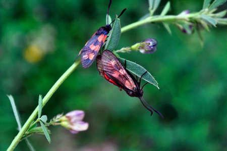 zygaena: Two beautiful butterflies  Zygaena filipendulae, on a plant