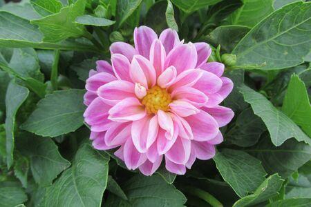 pink scarlet flower