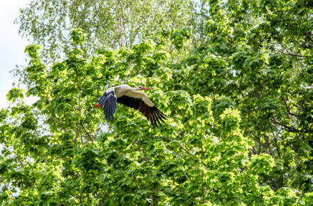 White and black white stork Ciconia ciconia fly up in the air outdoors in springtime.