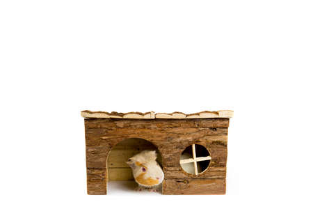 Cute young pet guinea pig peeking out of the wooden house, isolated on white. A lot of copy space.
