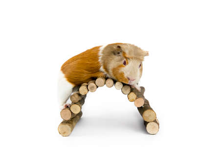 Domestic guinea pig (Cavia porcellus), also known as cavy or domestic cavy with wooden branch bridge isolated on white in studio.