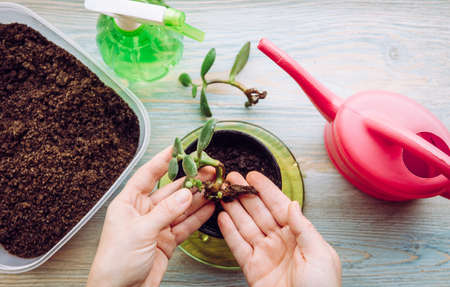Person growing and planting Crassula ovata, jade plant, lucky plant, money plant or money tree from piece. Houseplant propagation hobby concept. Watering can and spray bottle with soil container. Standard-Bild