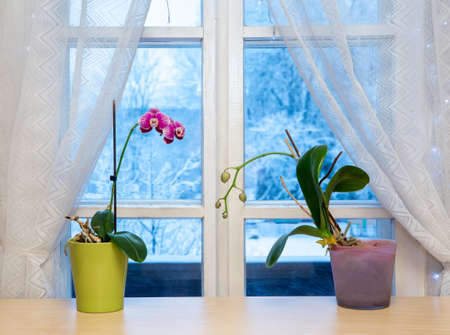Two orchids flowers in pots growing on window sill in winter indoors. Winter landscape with lot of snow on background outdoors. Imagens