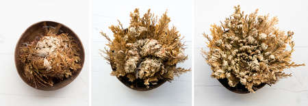 Different stages of Rose of Jericho, Selaginella lepidophylla also called Resurrection Plant. Left closed, in the middle is half way open and on right is fully open.