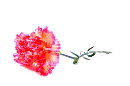 gilliflower: pink clove carnation Stock Photo