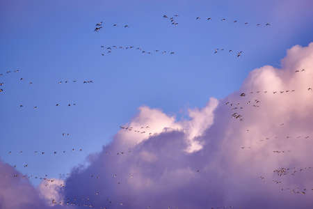 canadensis: flock of Canada gooses in the evening Stock Photo