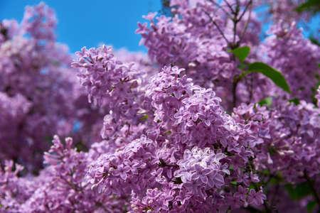 beautiful lilac closeup Stock Photo