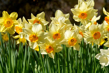 beauty blossoms of easter narcissus