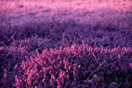 lilac heather Reklamní fotografie