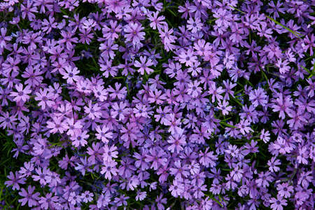 carpet of purple busy lizzie Stock Photo