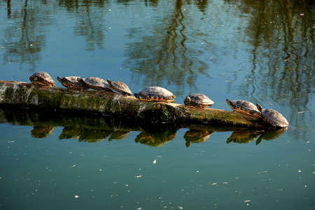 water turtles sitting in line Stock Photo