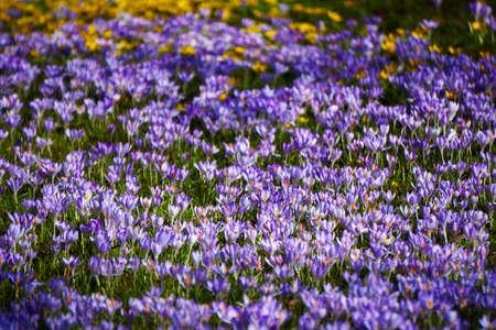 brightness: violett crocus field in spring