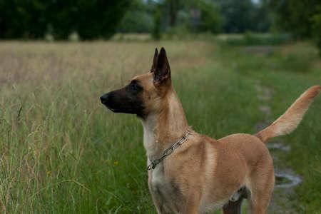 Belgian shepherd young dog portrait on summer meadow