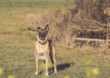 Malinois stands in a meadow. In the background you can see reeds. Stockfoto