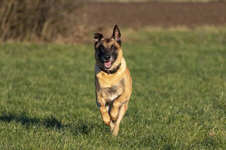 Belgian Shepherd runs at a gallop in a meadow. Banque d'images