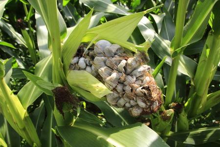 Maisbeulenbrand on a maispflanze