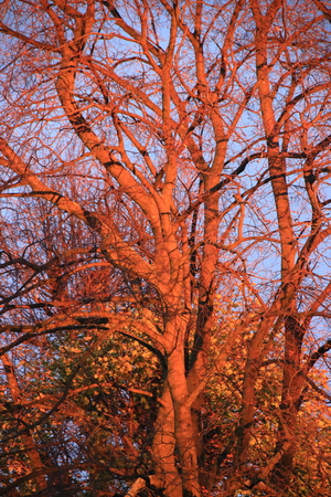 Evening sun that makes a tree glow red