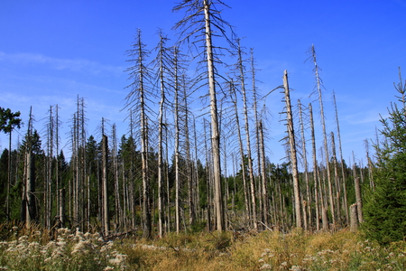 Forest in Harz in the summer of 2018, which is attacked by the bark beetle Standard-Bild - 109123003