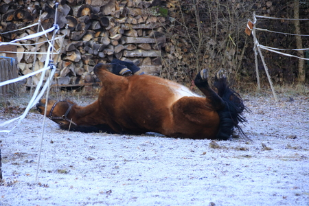 Horse lies on its back and stretches its legs up Banco de Imagens