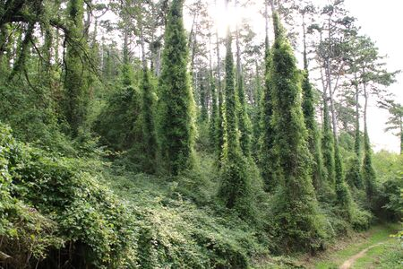 Trees in a forest entwined by ivy
