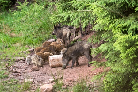 Wild boars in the nature photo