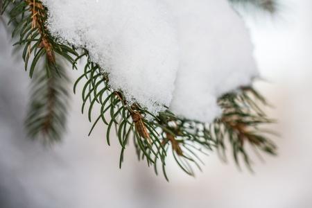 Needles with snow Stock Photo - 16930832
