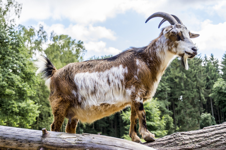 White and brown pet goat on the cut trunks of trees Stock Photo