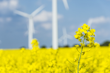 Yellow oilseed rape field under the blue sky with sun - detailed view with windmills in background