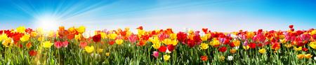 Tulips In Spring - Panoramic Tulip Field - Different Varieties