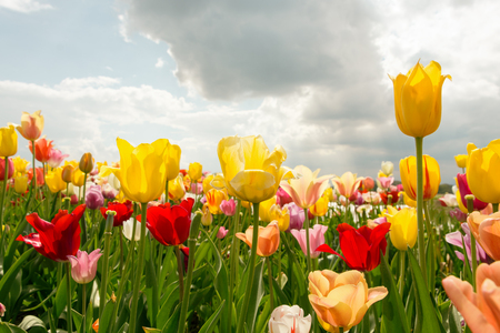 Colorful Spring Tulip Field With Sunshine And Blue Cloudy Sky