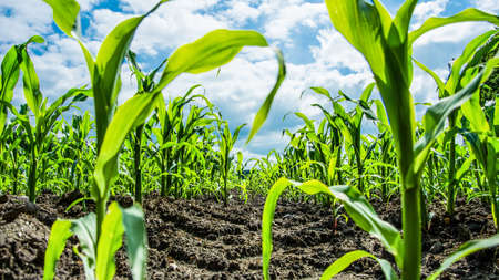 Young Green Corn Plants On Farmland With Tire Print From The Tractor - Extreme Low Angle Shot - Worm's-Eye View