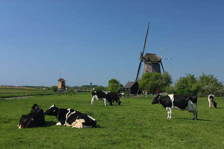 cows at windmill photo