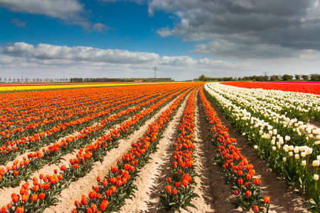 dutch colored tulip field photo