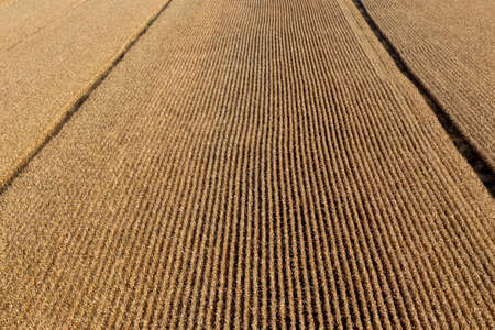Aerial view over a corn field ready for harvest season. Imagens