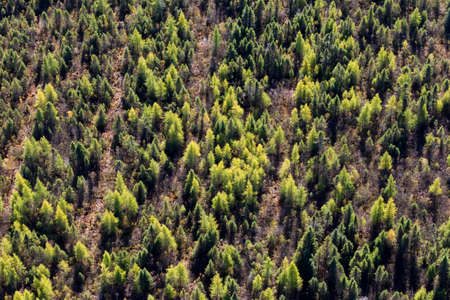 Aerial view over the boreal north american forest and its spruce, pine and fir trees in autumn.