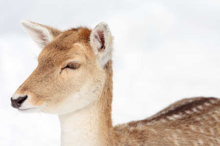 close up view: Close up view on a doe (female fallow deer) in winter.