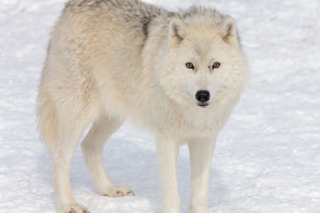 artic: Beautiful artic wolf on the snow.
